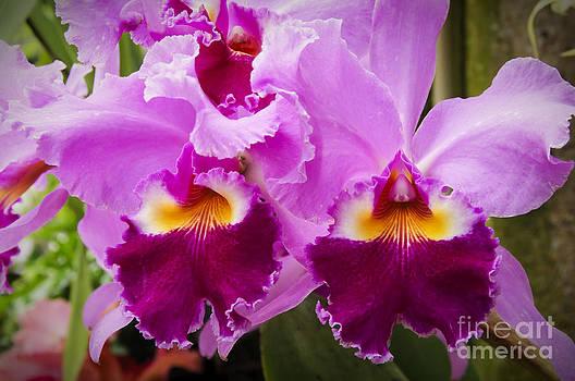 Oscar Gutierrez - Cattleya Orchids