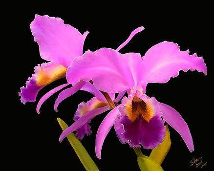 Shere Crossman - Cattleya
