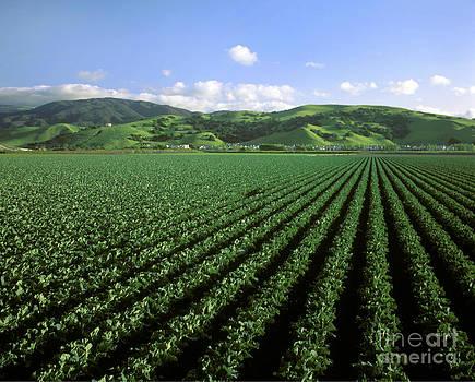 Craig Lovell - Cauliflower Field
