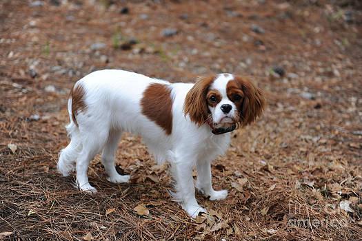 Dale Powell - Cavalier Dog