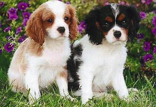 Diane Kurtz - Cavalier King Charles Spaniel Puppies