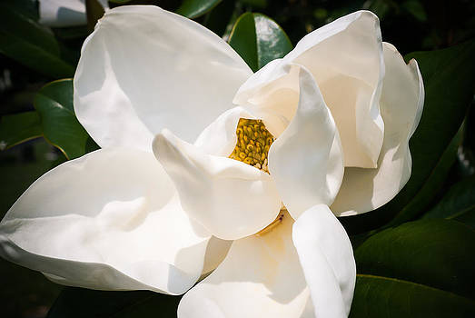 Cave Hill Magnolia by Wayne Stacy