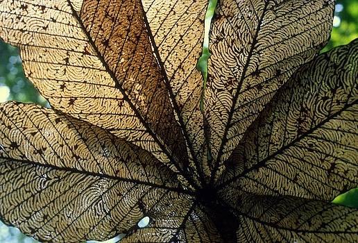Cecropia leaf leaf-miner tunnels by David Olson