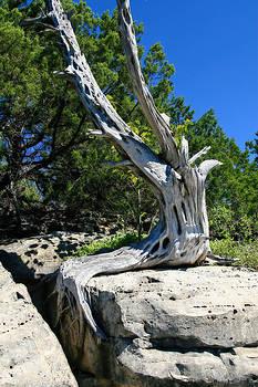Cedar on the Rocks by Corey Haynes