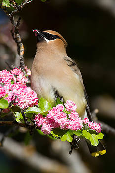 Cedar Waxwing by Don Baccus
