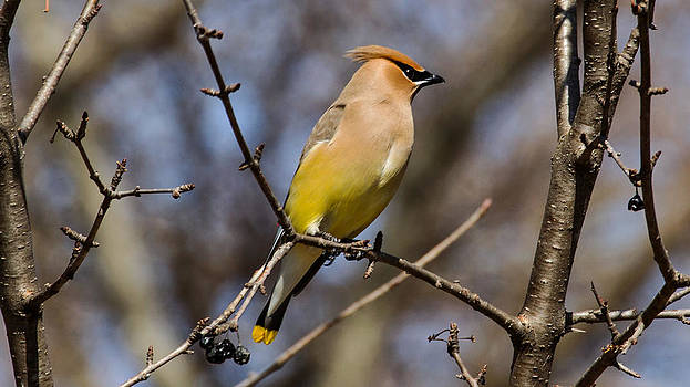 Cedar Waxing Spring by David Tennis