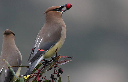 Cedar Waxwing by Joe Sweeney