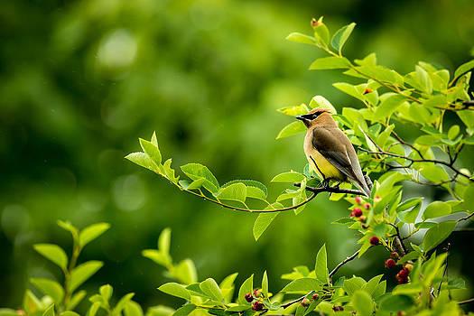 onyonet  photo studios - Cedar Waxwing Perched on a Branch
