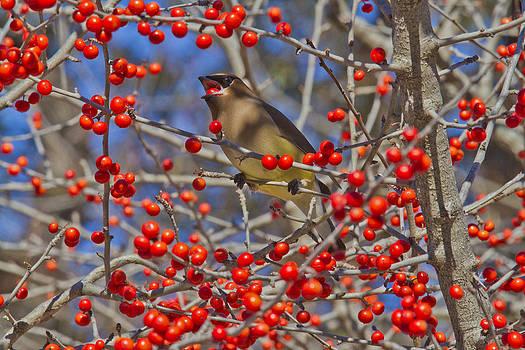 Cedar Waxwing In the Act of Swallowing a Possumhaw Fruit by Steven Schwartzman