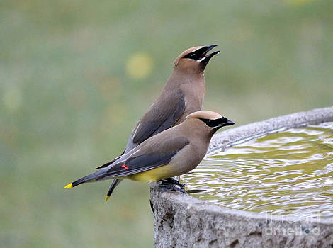 Cedar waxwings by Lori Tordsen