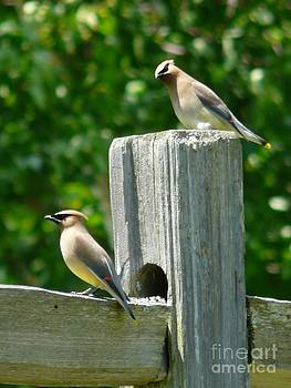 Christine Stack - Cedar Waxwings on a Fence