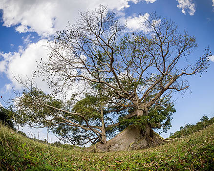 Ceiba by Carl Engman