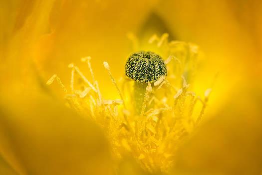 onyonet  photo studios - Center of a Yellow Cactus Flower