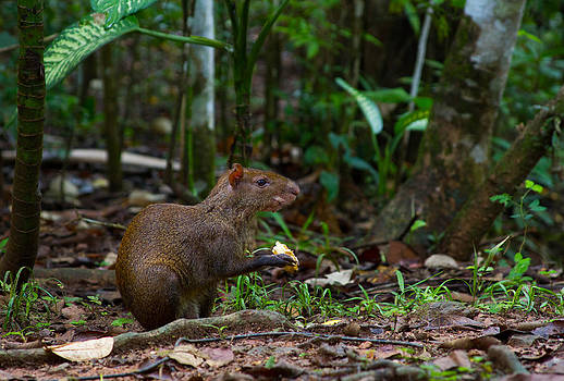 Central American Agouti by JP Lawrence