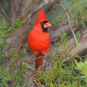 Central Texas Cardinal by Charles Frieda