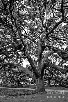 Mae Wertz - Century Tree