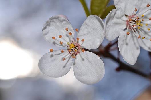 Cerisier by Riad Belhimer