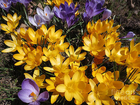 Dominique Fortier - Crocus - Spring Is Back