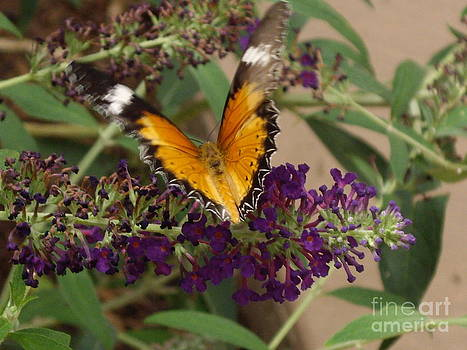 Cethonsia hypsea butterfly by Barbara Lightner