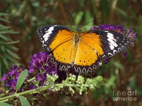 Cethosia hypsea butterfly by Barbara Lightner