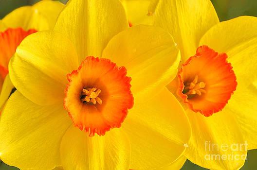 Regina Geoghan - Ceylon Daffodils