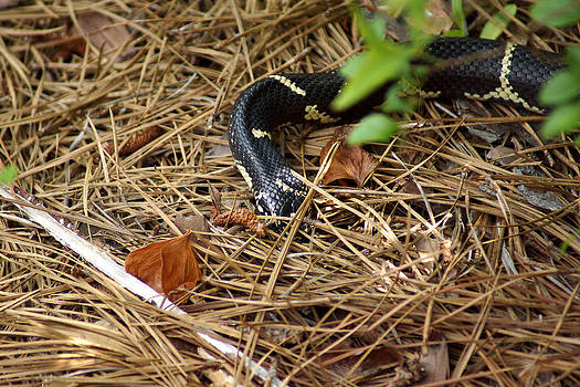 Chain Snake Heading for cover by Kim Pate