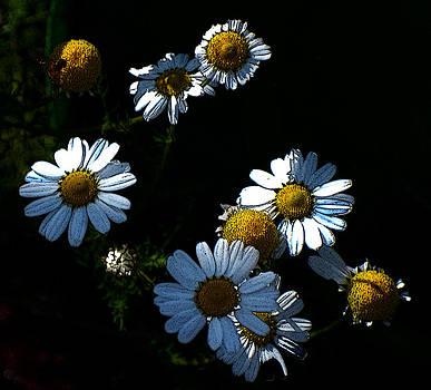 Chamaomile Flowers by Frank Gaffney