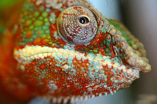 Chameleon by Justyn  Lamb