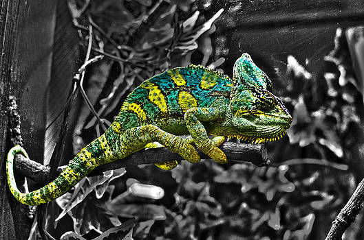 Chameleon by Paul Howarth