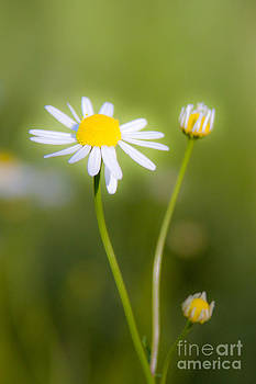 Chamomile 1 by Wayne Valler