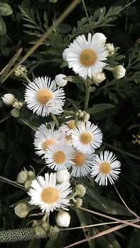 Chamomile Flowers. by Dayna Winters