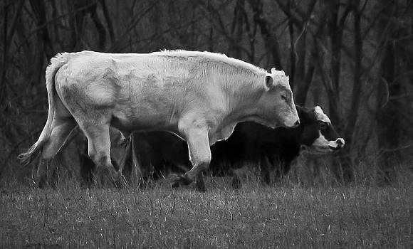 Charolais Bull by Mary Nash-Pyott