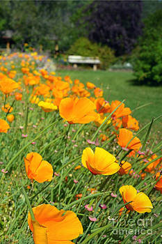 Cheerful Poppies by Kiana Carr