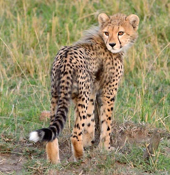 Cheetah Cub Looking Your Way by Tom Wurl