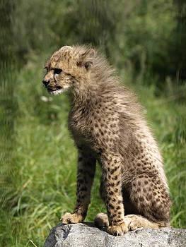 Cheetah Cub by Steen Hovmand Lassen
