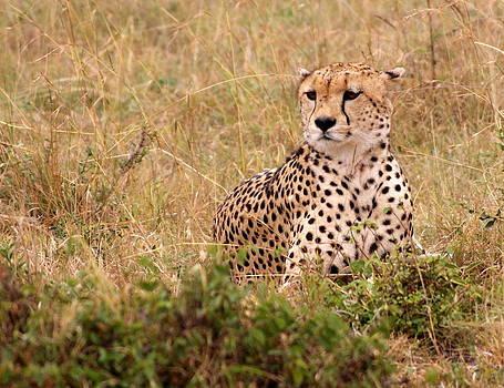 Cheetah by Debi Demetrion