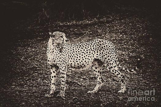 Darcy Michaelchuk - Cheetah Freezes Vintage