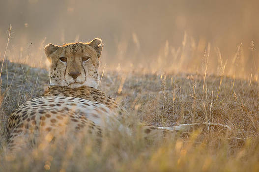 Cheetah prepares to sleep by Richard Berry