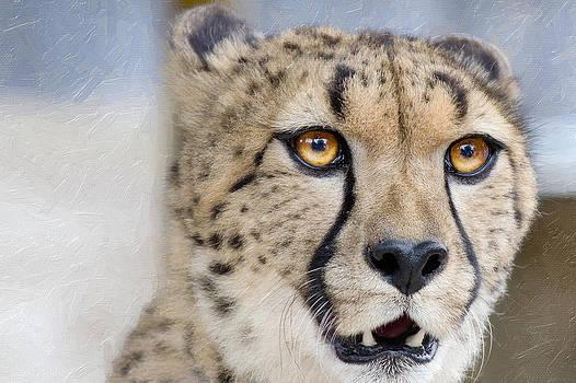 Cheetah by Saibal Ghosh