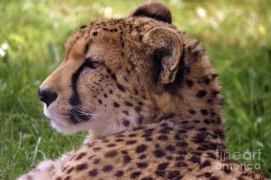 Cheetah Thoughts by Skye Ryan-Evans