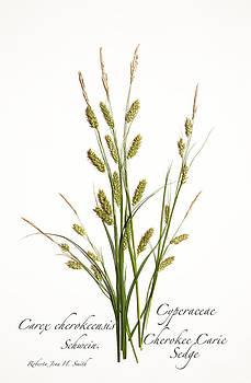 Cherokee Caric Sedge by Roberta Jean Smith