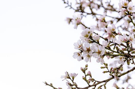 Cherries blooming in the spring. by Slavica Koceva