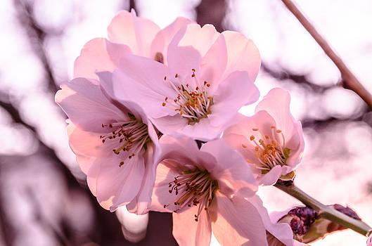 Cherry blosom. by Slavica Koceva