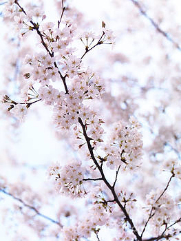 Cherry blossom artistic closeup by Oleksiy Maksymenko