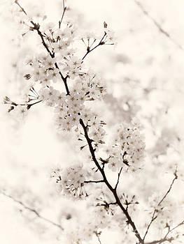 Cherry blossom artistic closeup sepia toned by Oleksiy Maksymenko