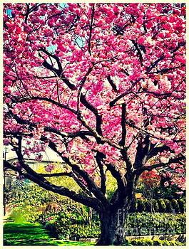 Cherry Blossom Beauty  by Tina Hannaford