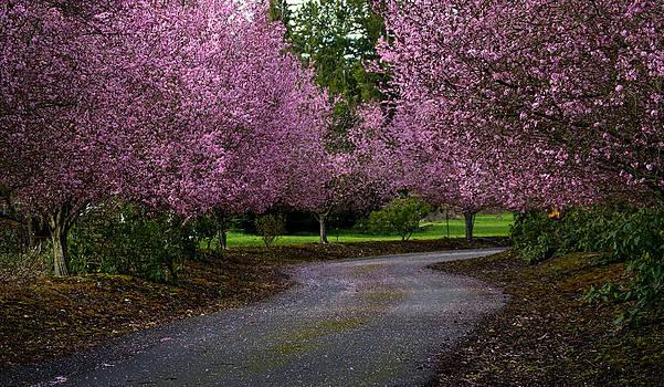 Cherry Blossom by Blanca Braun