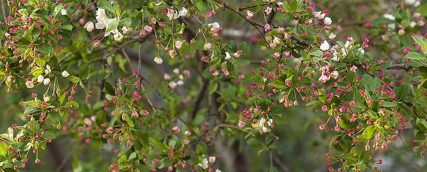 Cherry Blossom Buds by Lisa Missenda