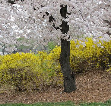 Cherry Blossom Forever by Barbara Chachibaya