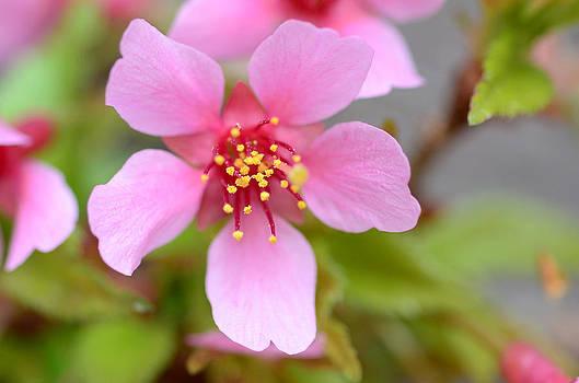 Lisa Phillips - Cherry Blossom
